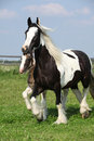 Nice irish cob mare with foal on pasturage skewbald running Stock Images