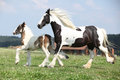 Nice irish cob mare with foal on pasturage skewbald running Stock Photo
