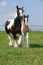 Nice irish cob mare with foal on pasturage skewbald running Royalty Free Stock Photo