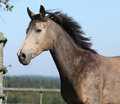 Nice kinsky horse running in autumn on pasturage Stock Photo