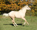 Nice kinsky horse running in autumn on pasturage Stock Images