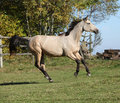 Nice kinsky horse running in autumn on pasturage Stock Photography
