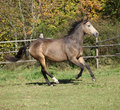 Nice kinsky horse running in autumn on pasturage Royalty Free Stock Image