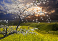 Nice landscape with sakura Stock Photos