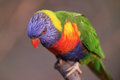 Nice little Lory Royalty Free Stock Photo