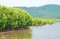 Nice mangrove forest in sea of thailand Royalty Free Stock Image