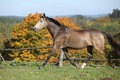 Nice mare on autumn pasturage kinsky running Stock Images