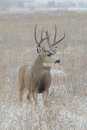 Nice mule deer buck a standing head on in a snow covered field Royalty Free Stock Photo