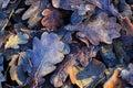 Nice oak s frozen leafage closeup photo Stock Image