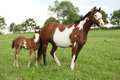 Nice paint horse mare with filly i summer Stock Image