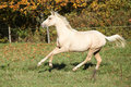 Nice palomino foal running in autumn on pasturage Stock Photo
