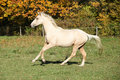 Nice palomino foal running in autumn on pasturage Stock Image