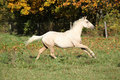 Nice palomino foal running in autumn on pasturage Stock Photos