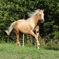 Nice palomino horse with long blond mane running on pasturage Stock Photos