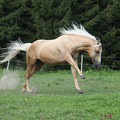 Nice palomino horse with long blond mane running on pasturage Royalty Free Stock Image