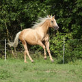 Nice palomino horse with long blond mane running on pasturage Stock Images