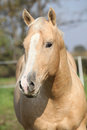 Nice palomino horse looking at you in autumn Royalty Free Stock Photography