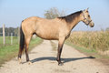Nice palomino horse standing on the way in autumn Stock Images