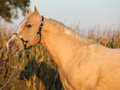 Nice palomino horse in sunset portrait of autumn Stock Images