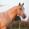 Nice palomino horse in sunset portrait of autumn Royalty Free Stock Image