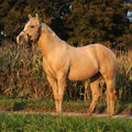 Nice palomino horse in sunset portrait of autumn Royalty Free Stock Photos