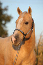 Nice palomino horse in sunset portrait of autumn Stock Photo