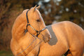 Nice palomino horse in sunset portrait of autumn Stock Image