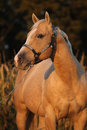 Nice palomino horse in sunset portrait of autumn Stock Photography