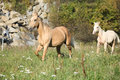Nice palomino mare with foal running in autumn on pasture Royalty Free Stock Image