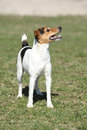 Nice parson russell terrier in nature alone Royalty Free Stock Photo