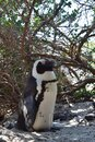 Nice peguins in boulders beach South Africa Royalty Free Stock Photo
