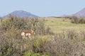 Nice pronghorn buck a antelope on the prairie Royalty Free Stock Photos