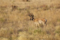 Nice pronghorn buck a antelope standing in a grass field Stock Images