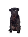 Nice pug dog with black hair isolated on white background Stock Photography