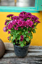 Nice purple flower in pot Stock Image