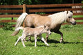 Nice shetland mare with foal running in front of wood fence Stock Photography