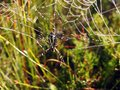 Spider and his net with morning dew, Lithuania Royalty Free Stock Photo