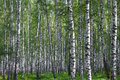 Nice summer birch forest in russia Stock Image