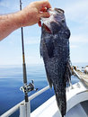 Nice Summer Seabass Royalty Free Stock Photo