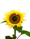 Nice sunflower Stock Photos