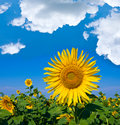 Nice sunflowers field Stock Photography