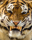 Nice tiger large snarling male siberian Royalty Free Stock Photography