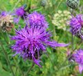 Cornflower. Knapweed. A group of bright field flowers Royalty Free Stock Photo