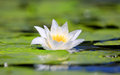 Nice water lily flower Royalty Free Stock Photo