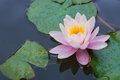 Nice water pink lily Royalty Free Stock Photos