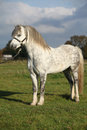 Nice welsh mountain pony stallion on pasturage with halter Royalty Free Stock Photos