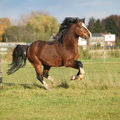 Nice welsh mountain pony stallion running brown in autumn Stock Photo