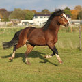 Nice welsh mountain pony stallion running brown in autumn Royalty Free Stock Images