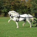 Nice welsh mountain pony stallion running white in autumn Stock Photography