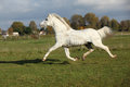 Nice welsh mountain pony stallion running white in autumn Royalty Free Stock Photos
